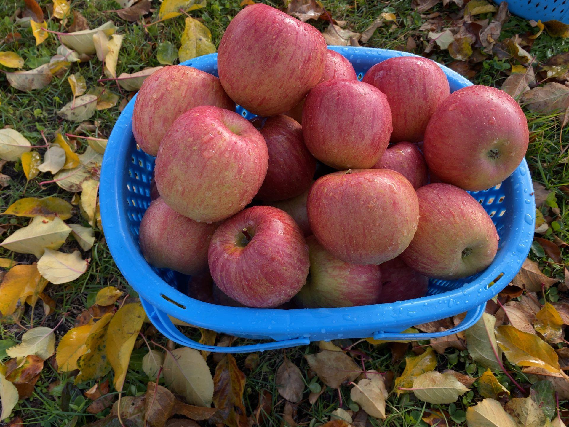 コロナ対策万全の元、社内旅行で長野へリンゴ狩り&今年の最後となる黒部ダム観光